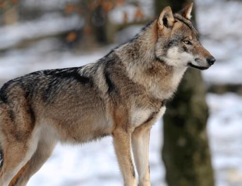 Il y a un loup chez moi