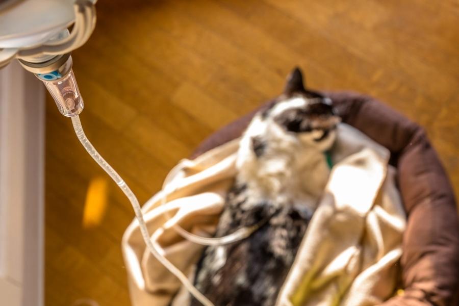 Fluidothérapie, phosphore et insuffisance rénale du chat et du chien